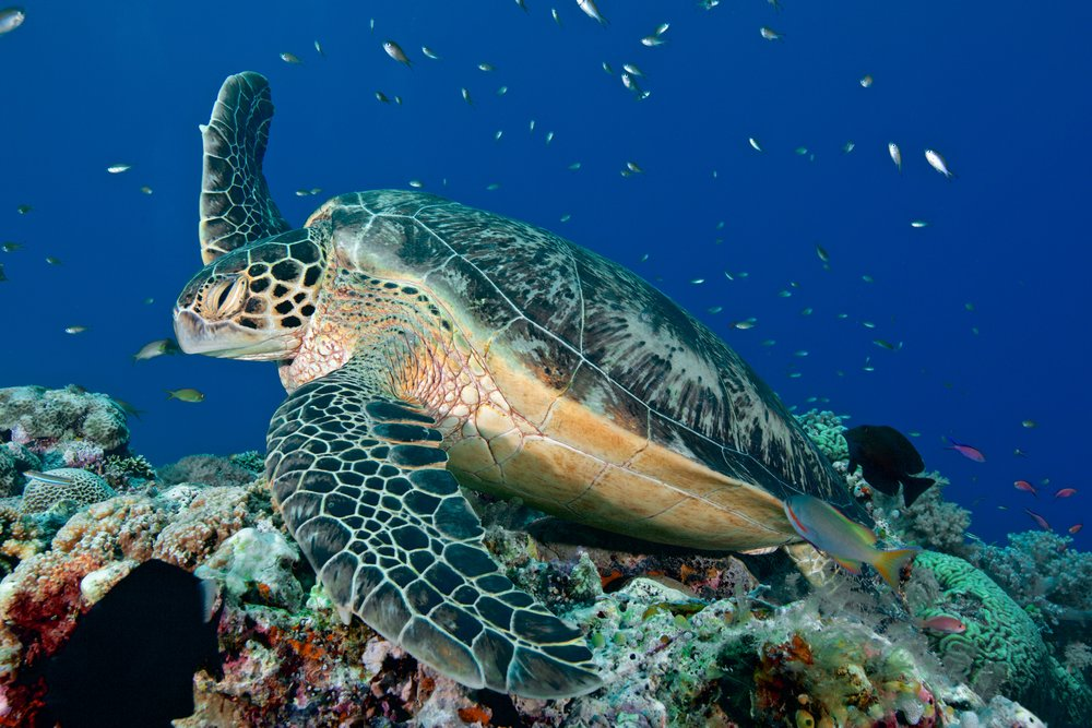 turtle in tubbataha credit: gregory piper / coral reef image bank
