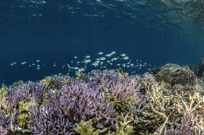coral reef in indonesia credit: Martin Colognoli / coral reef image bank