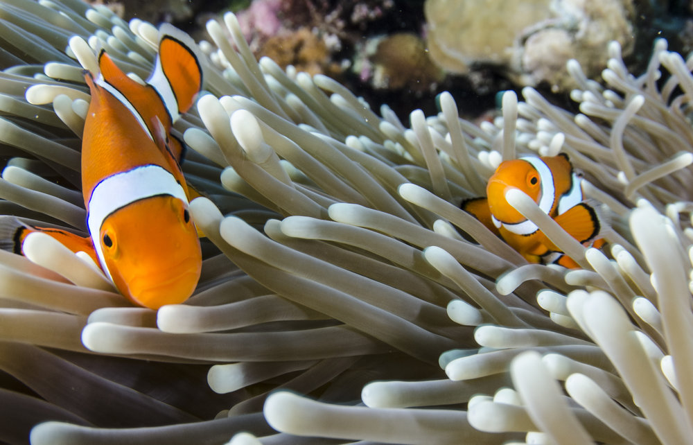 clownfish in anemone home credit: amanda cotton / coral reef image bank