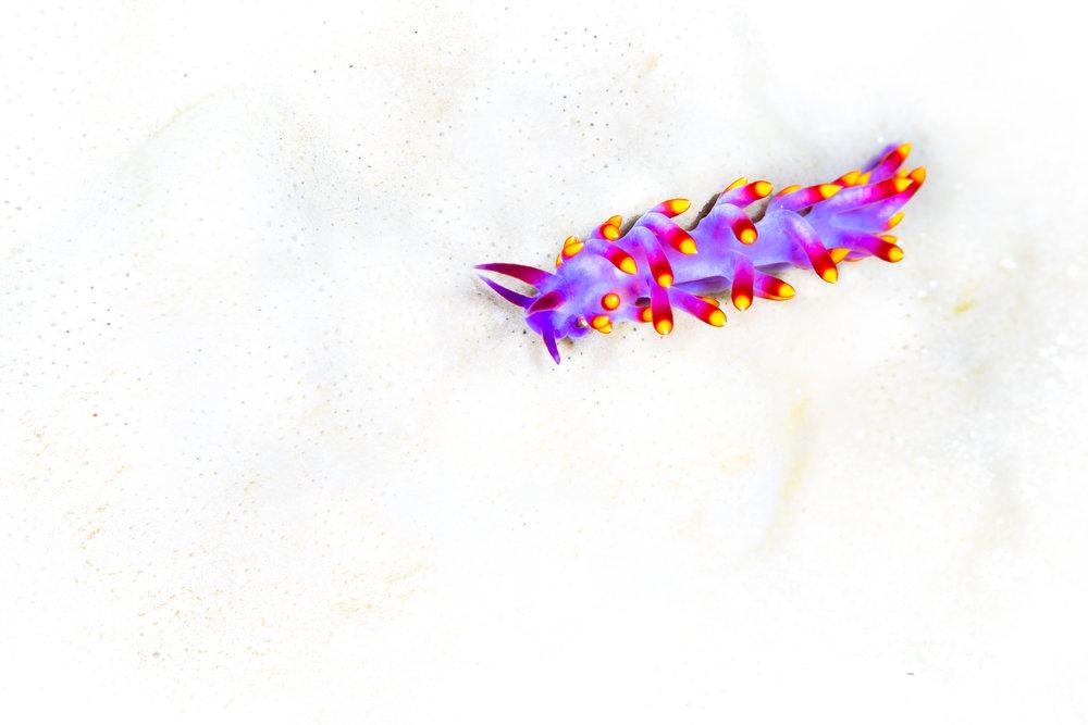 nudibranch CREDIT: grant thomas / coral reef image bank