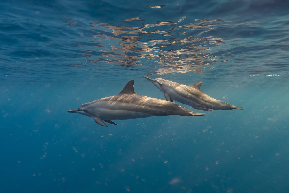 dolphins credit: Jeff hester / coral reef image bank