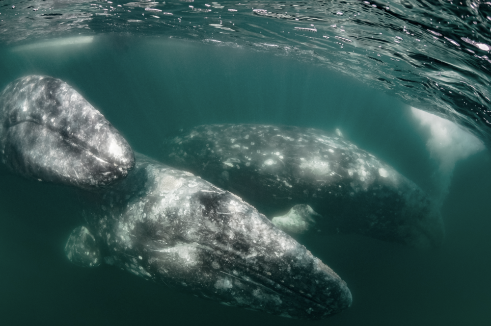 whales credit: hannes klostermann / coral reef image bank