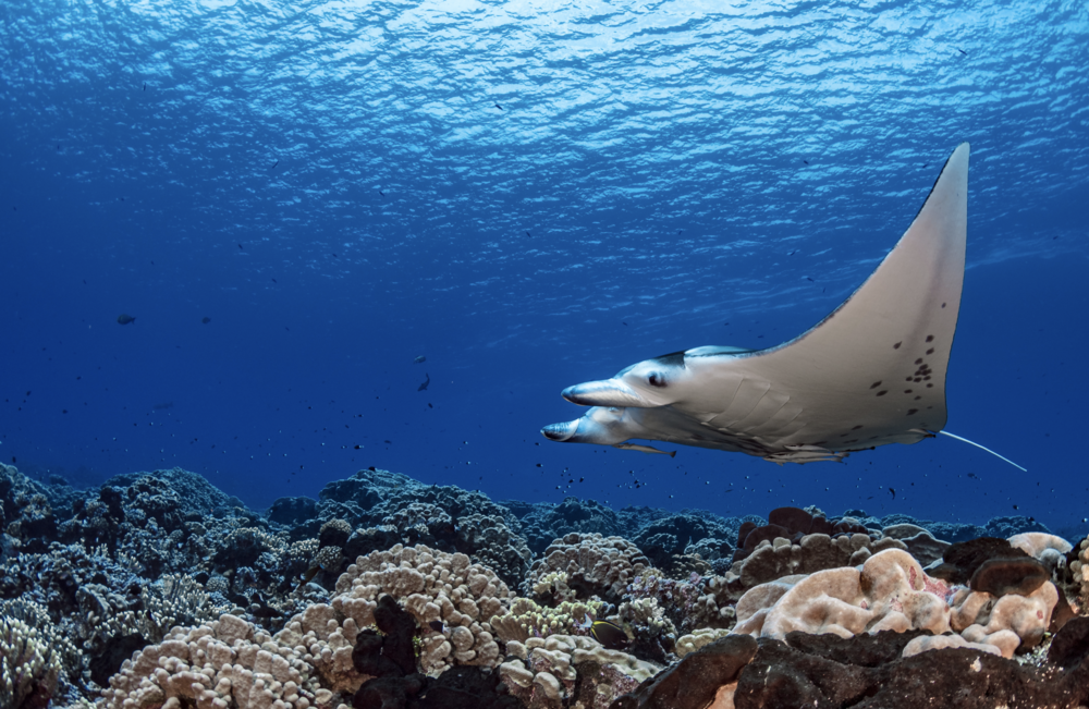 manta ray credit: hannes klostermann / coral reef image bank