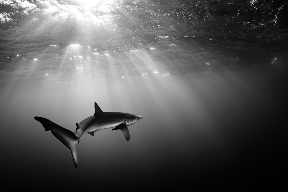 blue shark credit: hannes klostermann / coral reef image bank