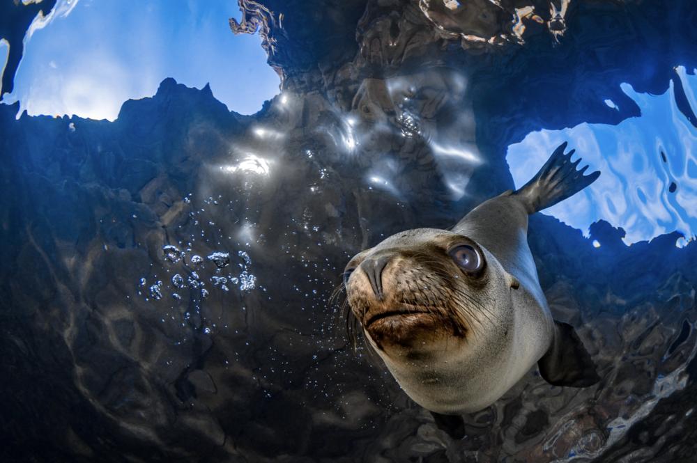 california sea lion, baja california credit: hannes klostermann / coral reef image bank