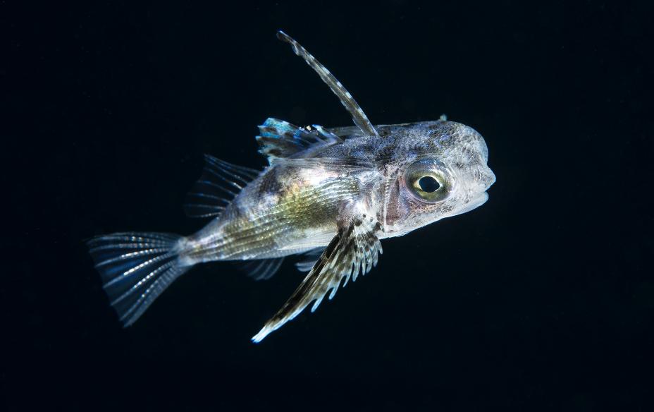 Juvenile Flying Gurnard credit: Richard barnden / coral reef image bank