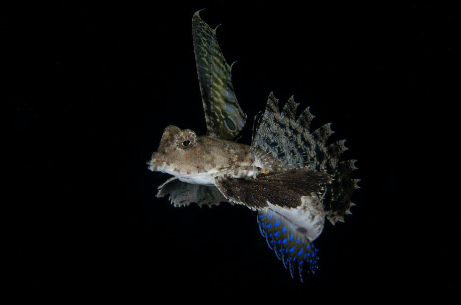 Blennie Hunting credit: Richard barnden / coral reef image bank