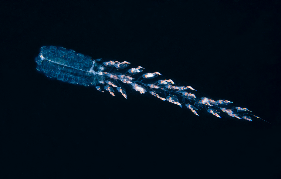Siphonophore Hunting credit: richard barnden / coral reef image bank