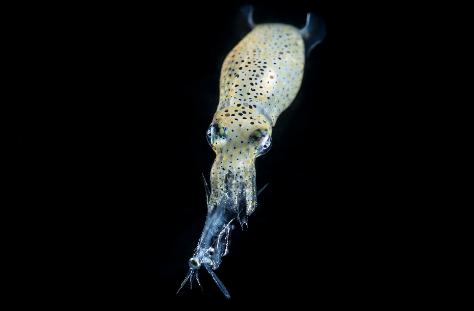 Squid with Stromatapod credit: richard barnden / coral reef image bank