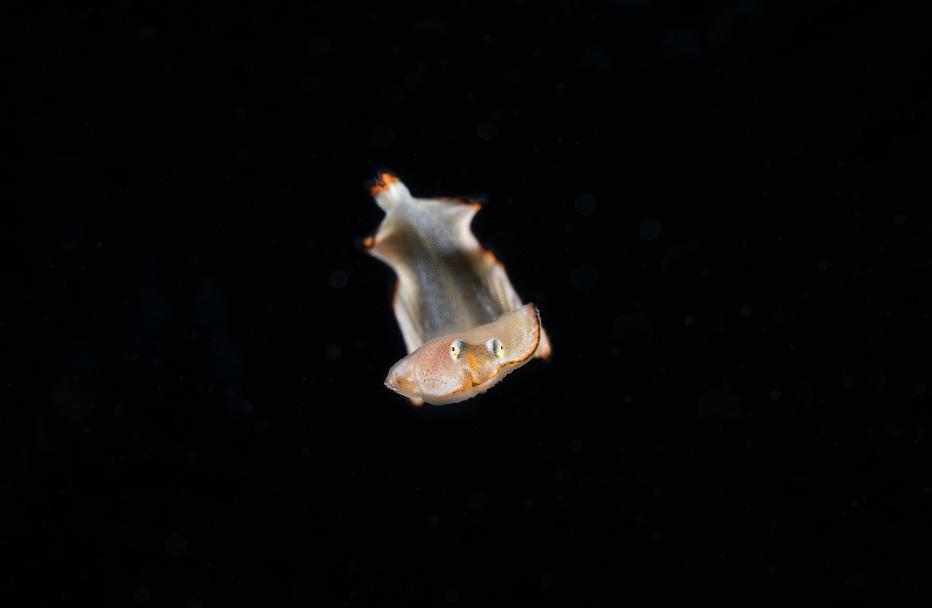Juvenile Sol credit: richard barnden / coral reef image bank