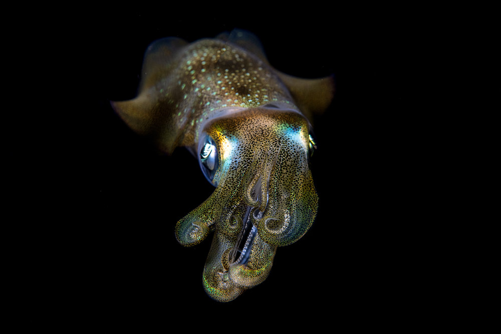 squid, raja ampat credit: tracey jennings / coral reef image bank