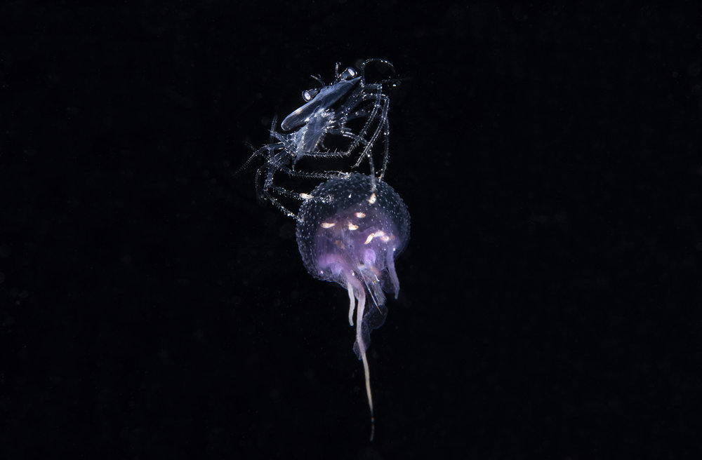 Crustacean Riding On a Jellyfish credit: richard barnden / coral reef image bank