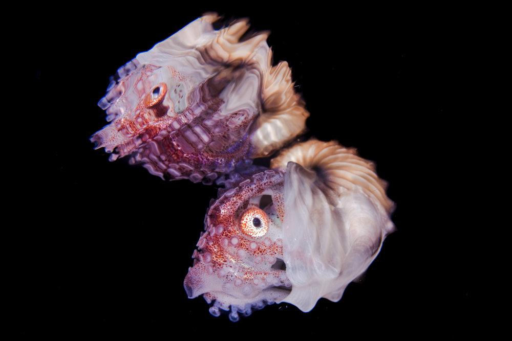 paper nautilus  credit: liang fu / coral reef image bank