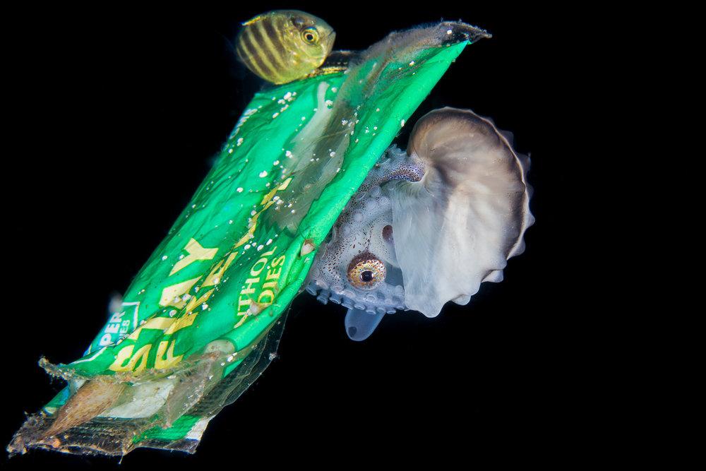 paper nautilus on trash credit: liang fu / coral reef image bank
