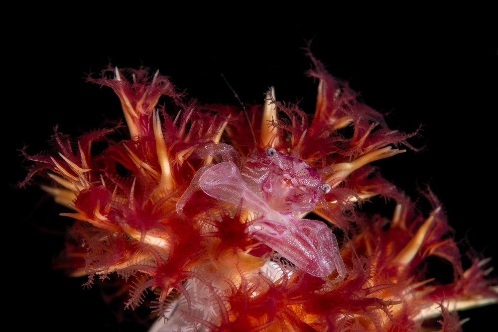 Porcelain crab on soft coral  credit: wojtek Meczynski / coral reef image bank