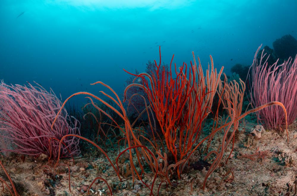 red sea rods, raja ampat credit: tracey jennings / coral reef image bank