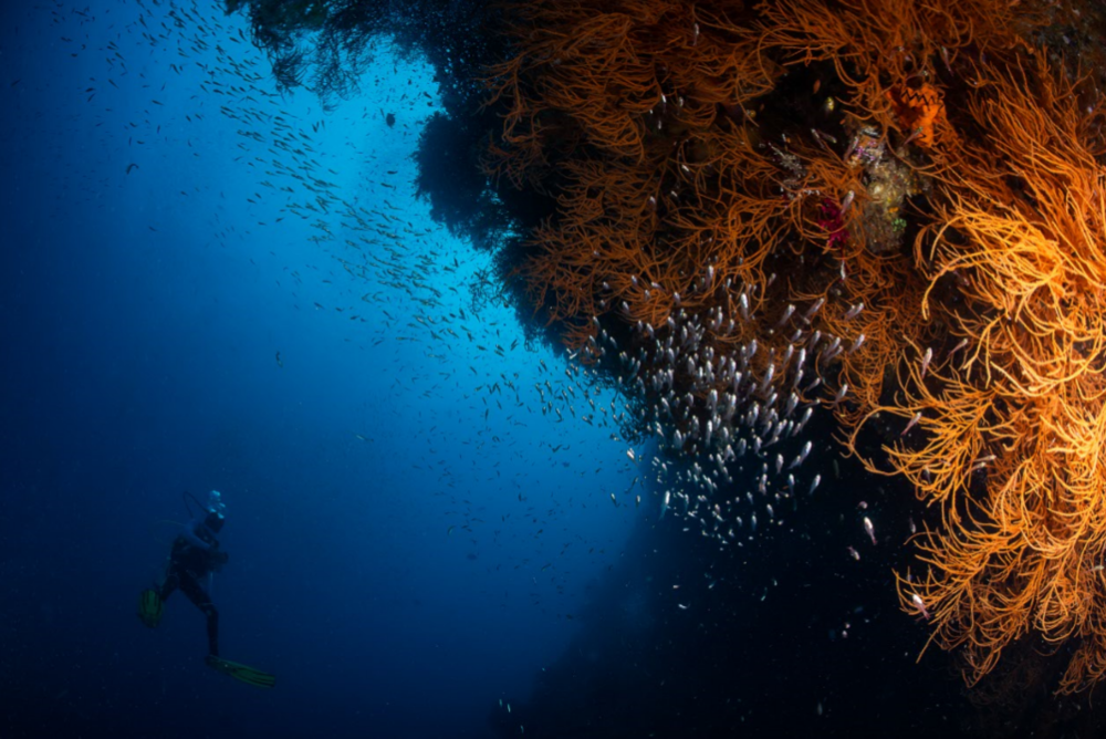 diver on the wall, raja ampat credit: tracey jennings / coral reef image bank