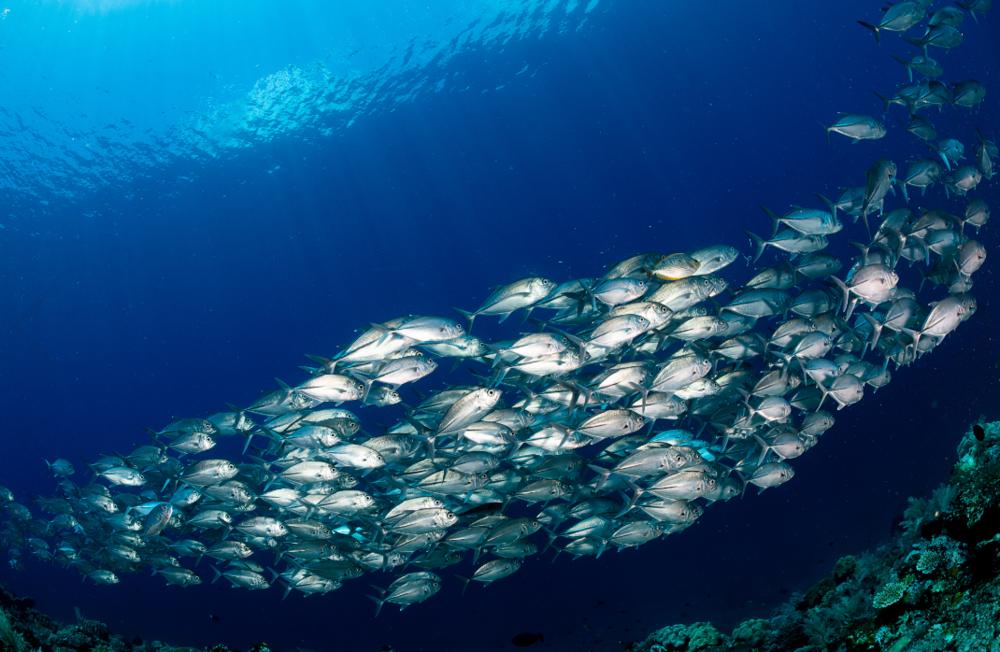 schooling trevally, raja ampat credit: tracey Jennings / coral reef image bank