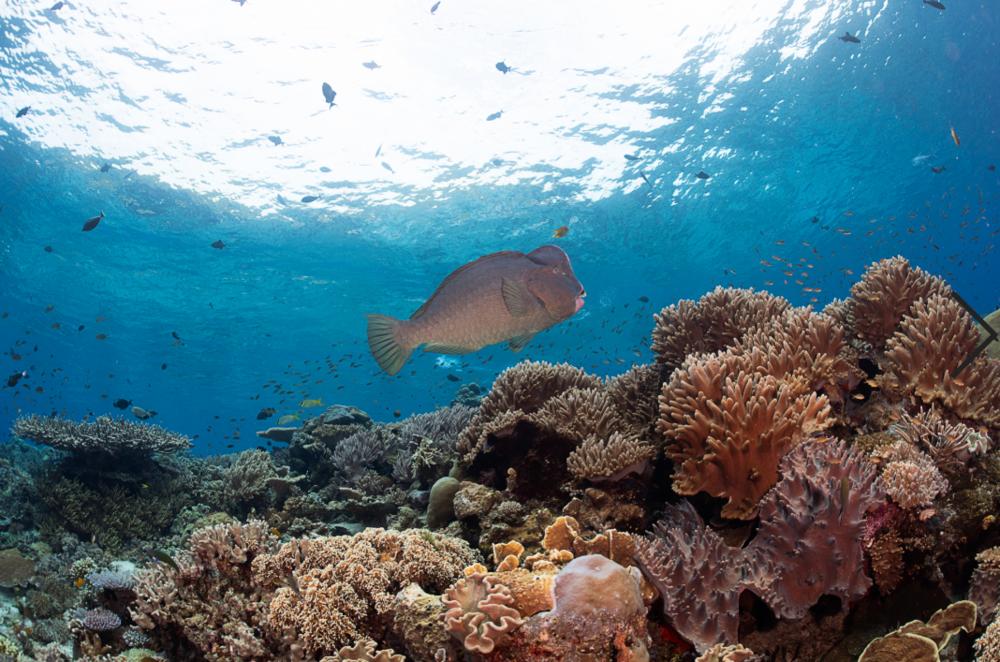 bumphead parrotfish credit: tracey jennings / coral reef image bank