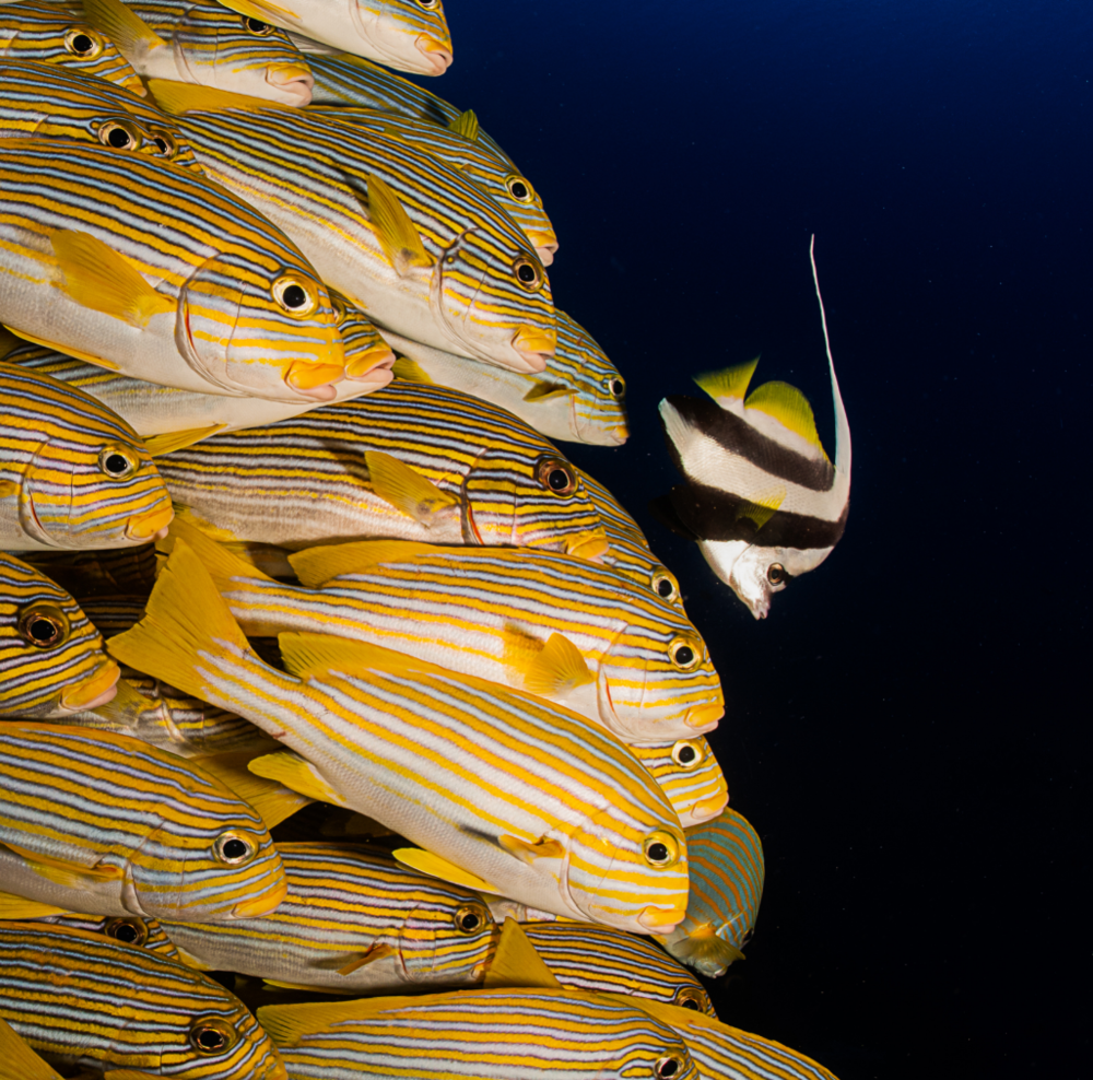 sweetlips behind a bannerfish credit: tracey jennings / coral reef image bank