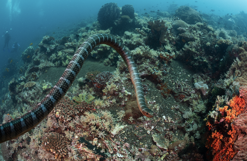 sea snake in raja ampat CREDIT: tracey peterson / coral reef image bank