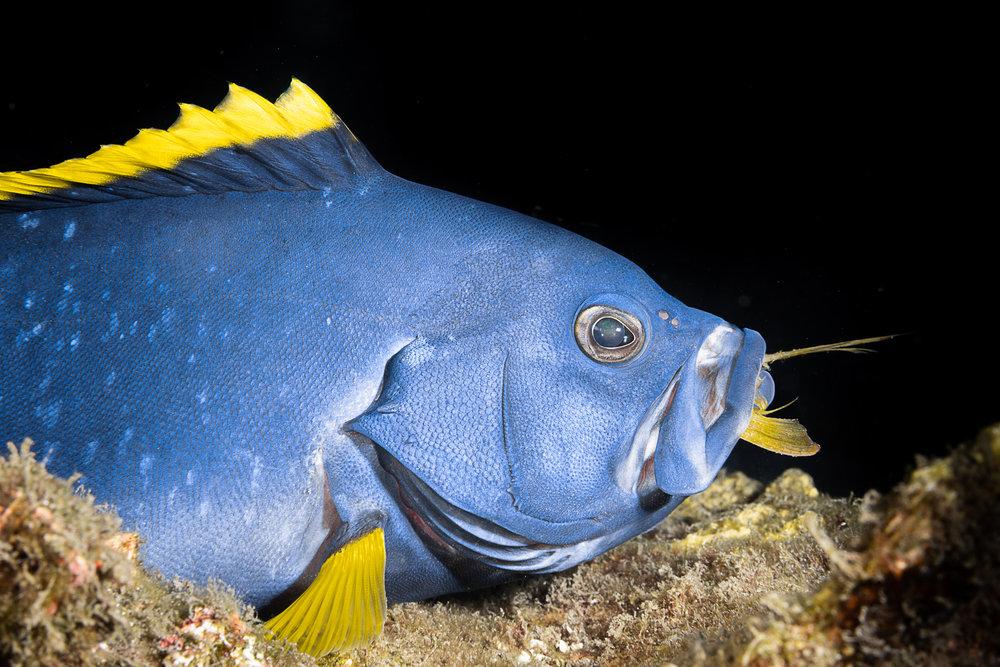 blue fish credit: François Baelen / coral reef image bank