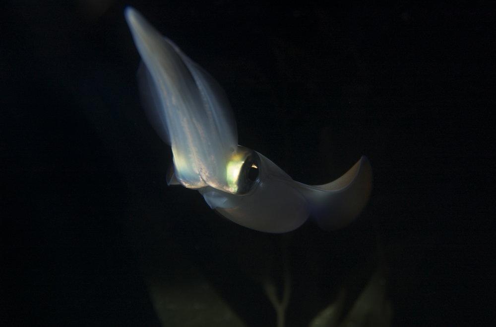 squid credit: the ocean agency / coral reef image bank