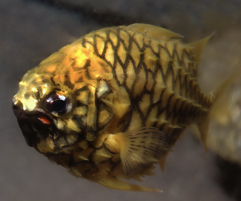 pineapple fish credit: the ocean agency / coral reef image bank