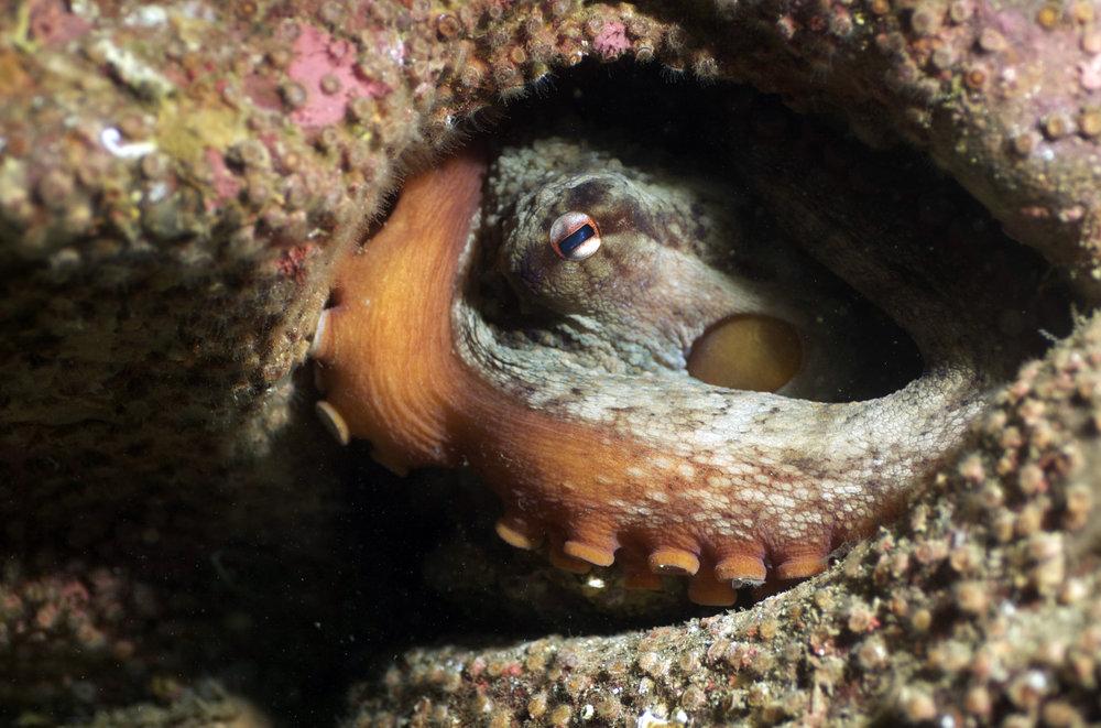 octopus credit: the ocean agency / coral reef image bank