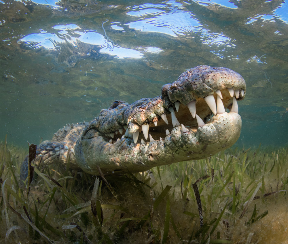 crocodile in CHINCHORRO BANKS, MEXICO credit: phillip hamilton / coral reef image bank