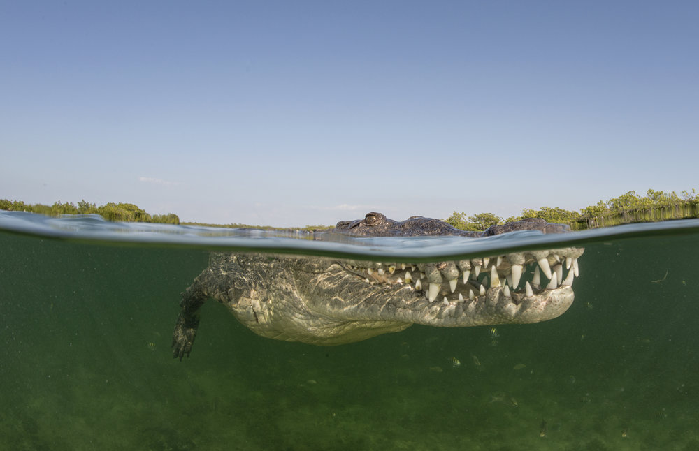 crocodile in cuba credit: jayne jenkins / coral reef image bank