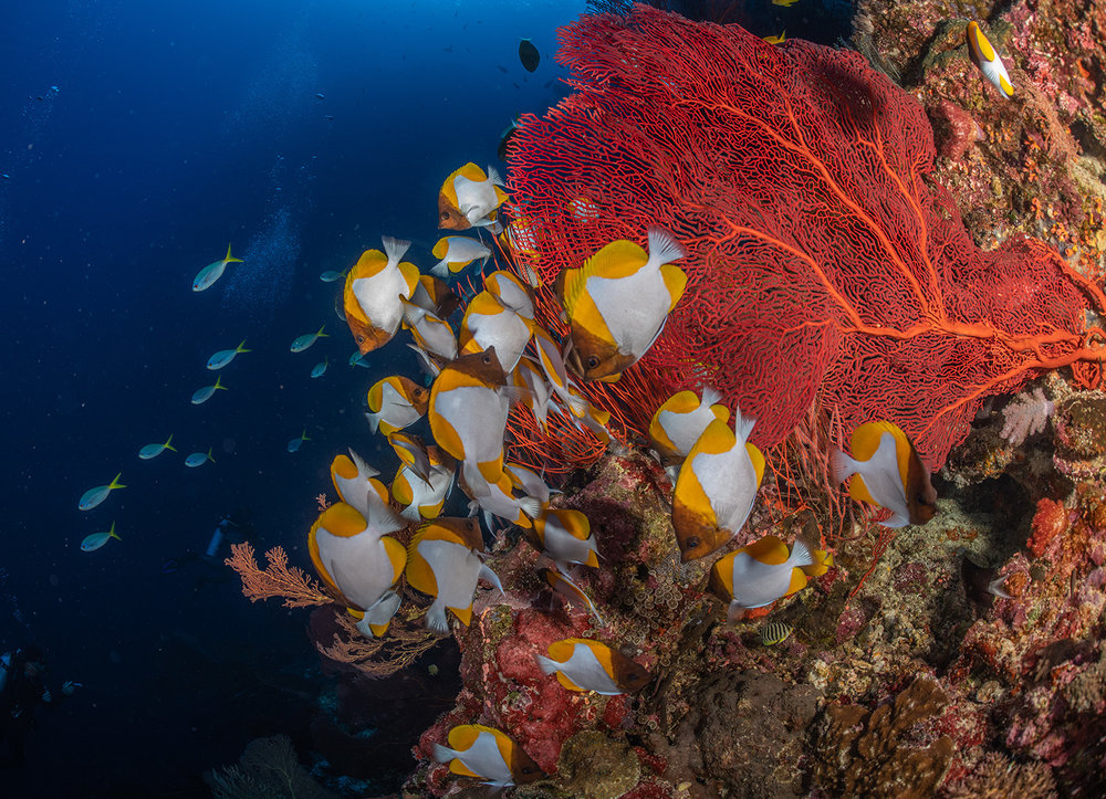 Pyramid Butterflyfish in the solomon islands credit: tracey jennings / coral reef image bank