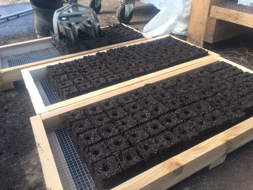 Our homemade trays. These 1.5 inch blocks are ready for parsley seeds.