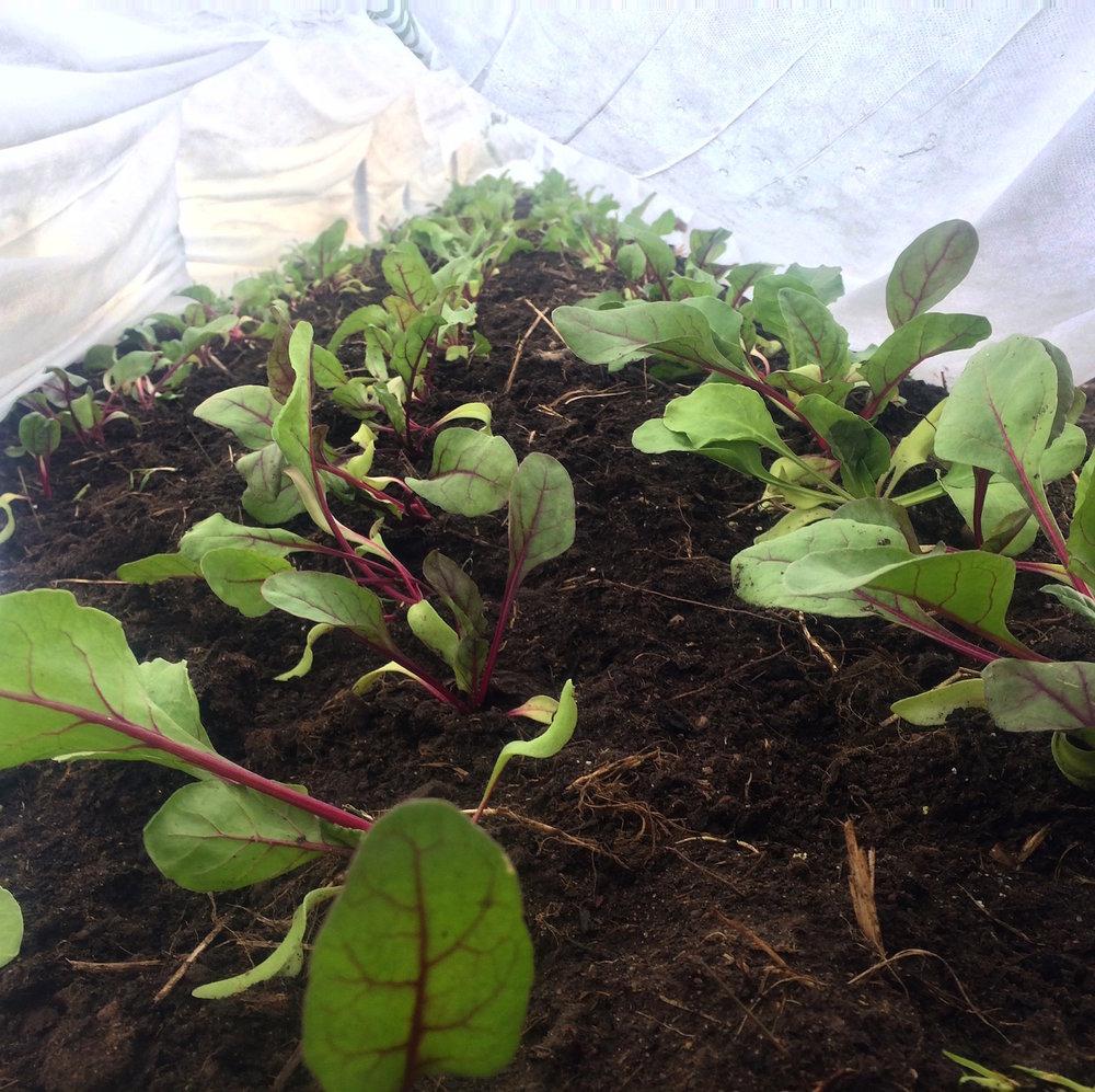 Beets, looking pretty upbeet.