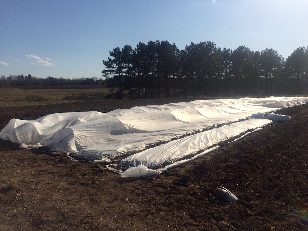 We covered our kale transplants, along with our other brassicas, to protect them from wind, frost, and pests