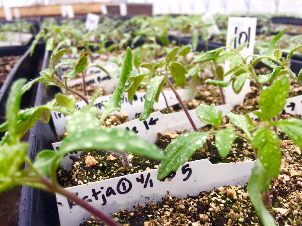We're growing so many different varieties of tomatoes this year!