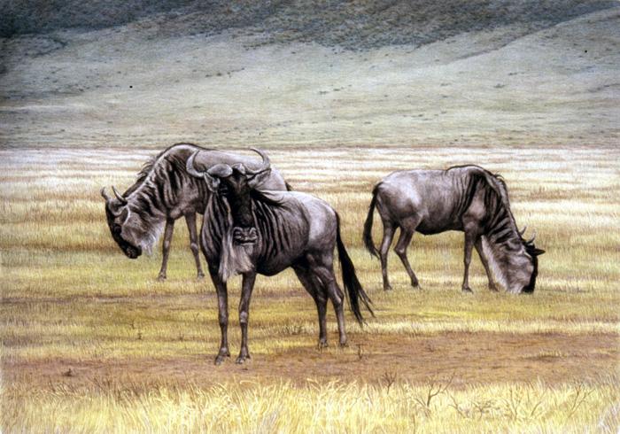 """Wildebeest in Ngorongoro"""