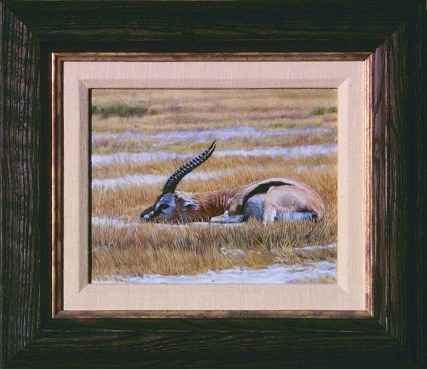 """""""Tommy""""   by Dennis Curry    A young Springbok."""