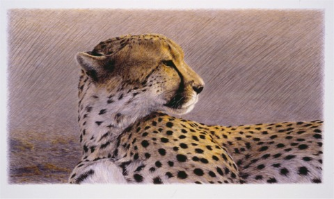 """""""Duma""""   by Dennis Curry    Duma, Swahili for cheetah, captures a languorous though watchful cheetah in the golden light of a setting Serengeti sun."""