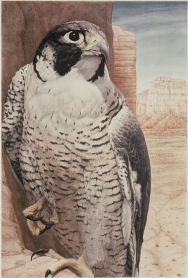 """Peregrine""   by Dennis Curry"