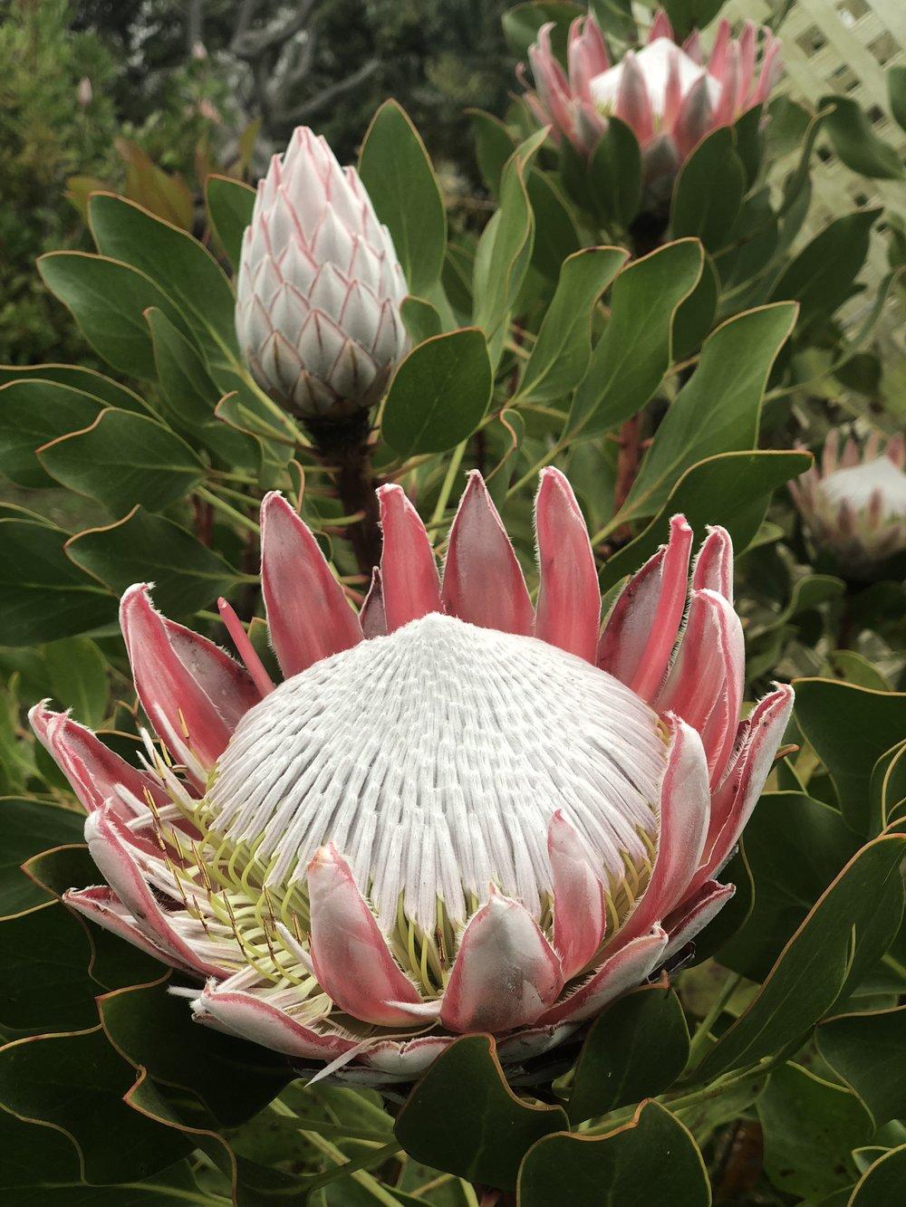 Giant Protea at Maui Lavender Farm