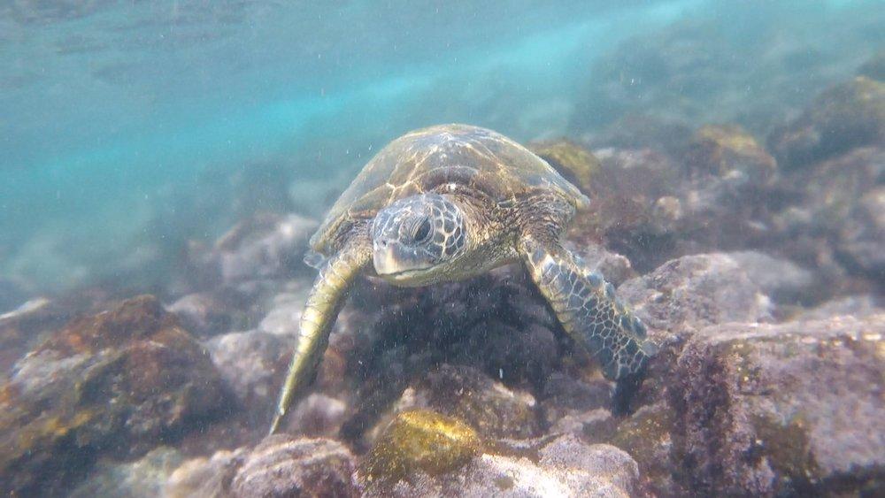 Snorkling with sea turtles at Punalu'u Beach.
