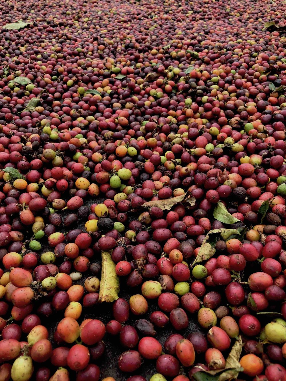Freshly picked coffee berries from Kona coffee plantations.