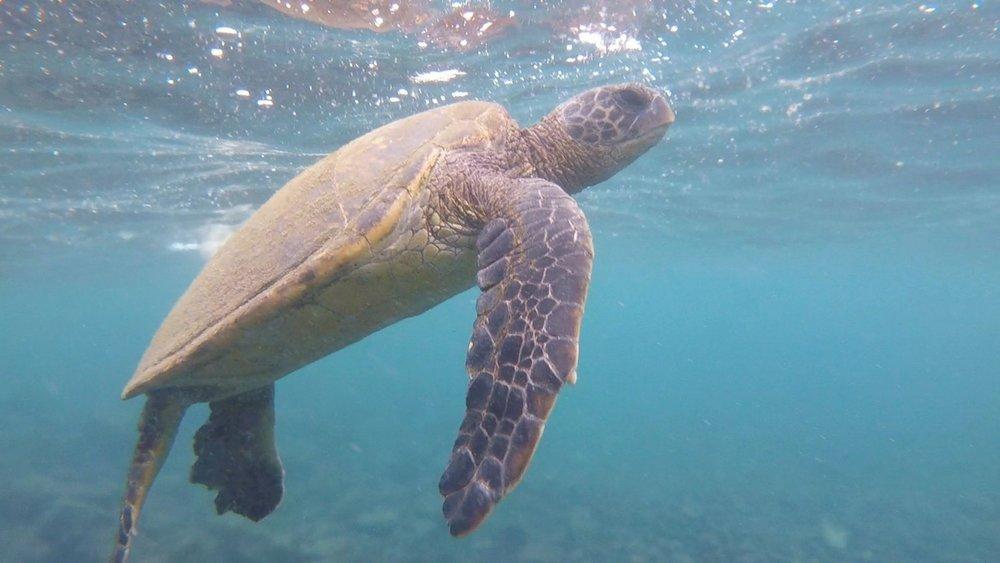Sea turtle at Punalu'u Beach in Hawaii