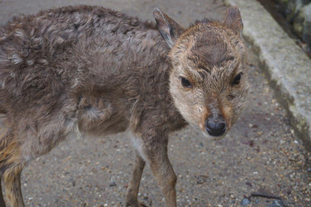 Curious baby deer in Nara, Japan.