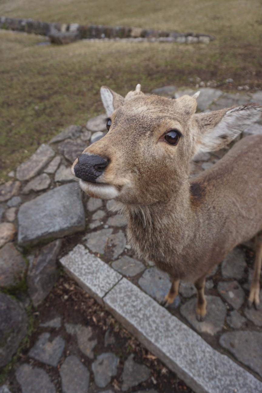Cute deer close up in Nara Japan