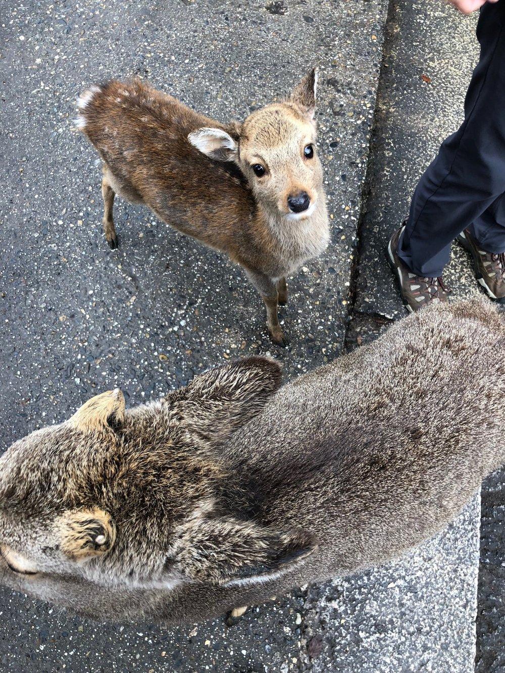Baby deer begging for cookies in Nara