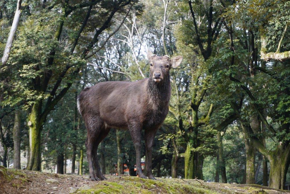 Large deer stands tall in Nara Park, Japan