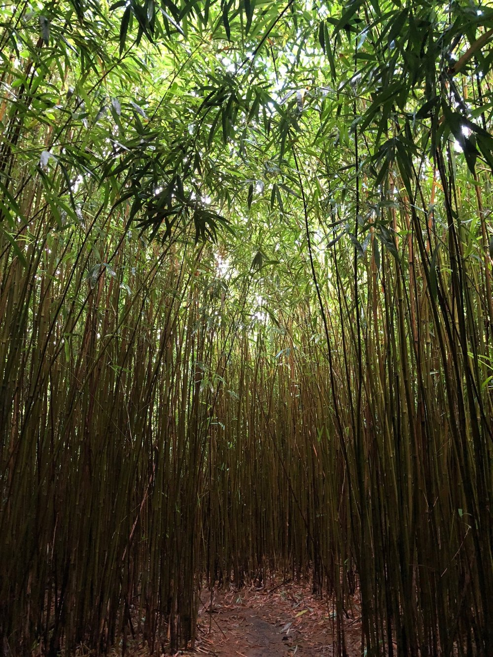 Bamboo forest on the Road to Hana, Maui.