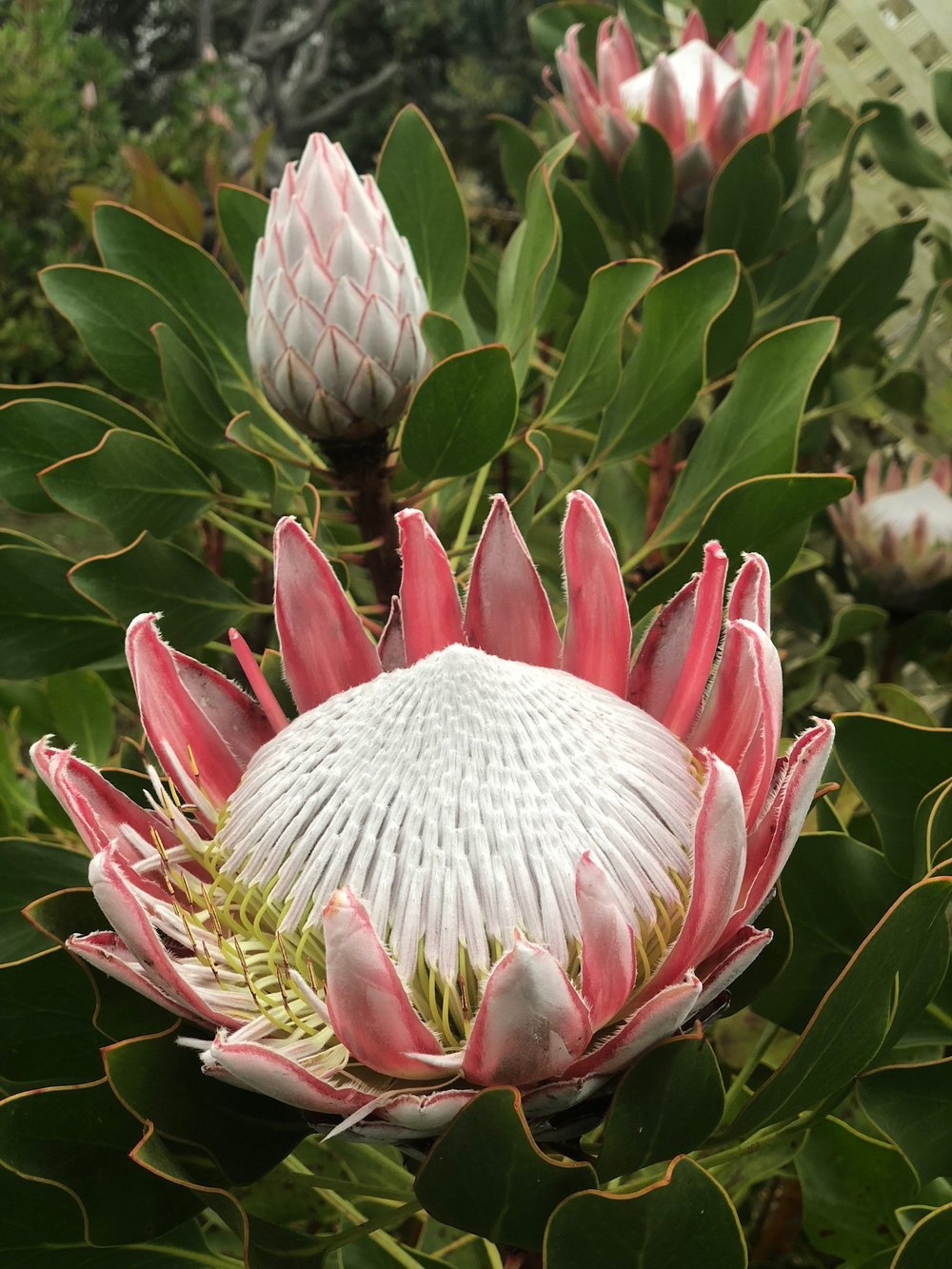 huge protea flower at the Maui Lavender farm, Maui. Boldlygotravel.com